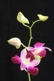 Preto da orquídea Imagem de Stock Royalty Free