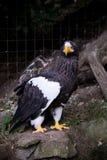 Preto de Eagle Fotografia de Stock