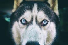 Preto do cão de puxar trenós Siberian do focinho e Fotografia de Stock