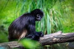 Preto do macaco de aranha de Geoffroyi entregue imagens de stock