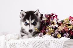 Preto e branco adorável com o cachorrinho do cão de puxar trenós dos olhos azuis Fotografia de Stock Royalty Free