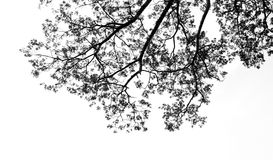 Preto e branco da árvore do ramo Fotos de Stock
