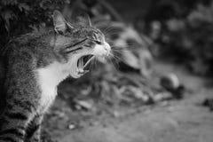 Preto e branco de bocejo do gato isolado fotos de stock royalty free