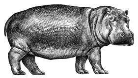 Preto e branco grave a ilustração isolada do hipopótamo ilustração do vetor
