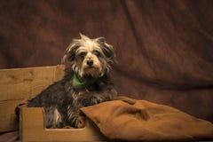 Preto e cão de Tan Fotografia de Stock