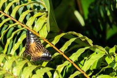 Preto e descanso da borboleta de Brown imagens de stock