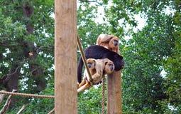preto e macacos de furo do ouro Imagem de Stock