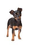 Preto e terrier de Tan Jack Russel Foto de Stock