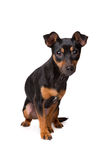Preto e terrier de Tan Jack Russel Imagens de Stock Royalty Free