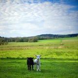 Preto e um cordeiro branco no campo fotografia de stock royalty free