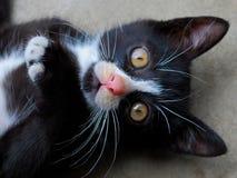 Preto e wihite do gato bonitos Imagem de Stock