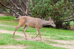 Preto fêmea cervos atados Fotografia de Stock