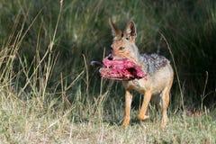Preto fêmea chacal suportado que corre com impala imagem de stock royalty free