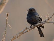 Preto-Flycatcher do sul (Melaenornis Pammelaina) Fotografia de Stock Royalty Free