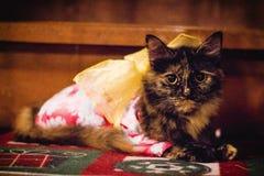Preto inteiramente vestido e gato do Siberian de Brown imagens de stock