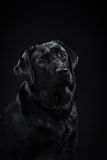 Preto Labrador da raça do cão do retrato em um estúdio Fotos de Stock