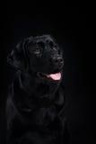 Preto Labrador da raça do cão do retrato em um estúdio Foto de Stock Royalty Free