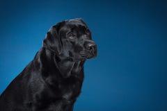 Preto Labrador da raça do cão do retrato em um estúdio Fotos de Stock Royalty Free