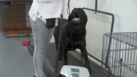 Preto profissional Labrador do trem do cynologist na escada rolante video estoque