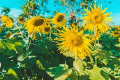 Prettiest sunflowers field in the afternoon in Nakhon Pathom, Thailand. Closeup of sunflower on farm. Rural landscape stock photos
