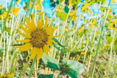 Prettiest sunflowers field in the afternoon in Nakhon Pathom, Thailand. Closeup of sunflower on farm. Rural landscape stock photography