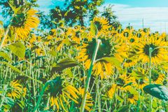 Prettiest sunflowers field in the afternoon in Nakhon Pathom, Thailand. Closeup of sunflower on farm. Rural landscape stock photo