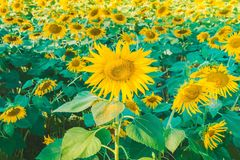 Prettiest sunflowers field in the afternoon in Nakhon Pathom, Thailand. Closeup of sunflower on farm. Rural landscape royalty free stock image