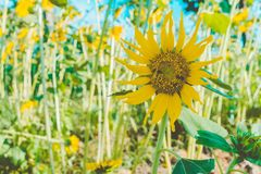 Prettiest sunflowers field in the afternoon in Nakhon Pathom, Thailand. Closeup of sunflower on farm. Rural landscape stock image