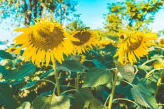 Prettiest sunflowers field in the afternoon in Nakhon Pathom, Thailand. Closeup of sunflower on farm. Prettiest sunflowers field in the aftern in Nakhon Pathom stock image