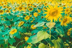 Prettiest sunflowers field in the afternoon in Nakhon Pathom, Thailand. Closeup of sunflower on farm. Prettiest sunflowers field in the aftern in Nakhon Pathom stock images