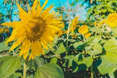 Prettiest sunflowers field in the afternoon in Nakhon Pathom, Thailand. Closeup of sunflower on farm. Prettiest sunflowers field in the aftern in Nakhon Pathom royalty free stock images