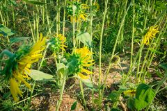 Prettiest sunflowers field in the afternoon in Nakhon Pathom, Thailand. Closeup of sunflower on farm. Rural landscape royalty free stock photos