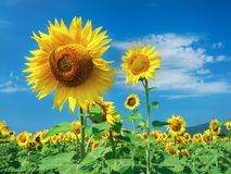 Prettiest sunflowers field with cloudy blue sky royalty free stock photo