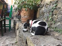 Prettige slaap van weinig Koe gevormde Chihuahua royalty-vrije stock afbeelding