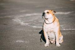 Pretty ασβέστιο de Bou ή Perro de Presa Mallorquin είναι ένα χαρακτηριστικό σκυλί Molossian Στοκ εικόνες με δικαίωμα ελεύθερης χρήσης
