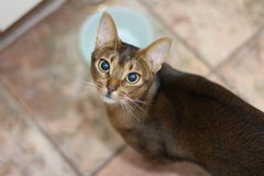 Pretty abyssinian cat Stock Images