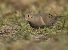 Mourning Dove. A pretty adult Mourning Dove walking on the ground at Lettuce Lakes Park near Tampa, Florida Royalty Free Stock Image