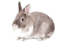 Pretty little grey and white bunny rabbit Royalty Free Stock Images