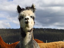 Pretty Alpaca Stock Photos