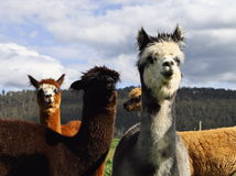 Pretty Alpacas Stock Photos