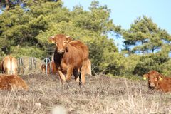 Cow in Nature stock images