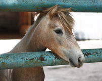 Pretty as a picture-head shot of chestnut pony Royalty Free Stock Photos