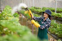 Watering Strawberry Plants royalty free stock image
