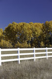 Pretty Aspen trees. Royalty Free Stock Images