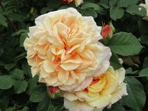 Pretty Attractive Peach Rose Flowers Blossom In Park Garden royalty free stock photo