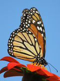 Pretty August Monarch Butterfly stock photography