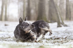 Pretty australian cattle dog puppy in walking snow nature backgr Royalty Free Stock Photos