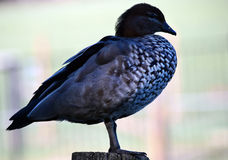 Pretty australian duck Stock Images