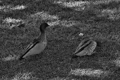 Pretty australian duck royalty free stock image
