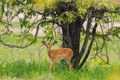 Pretty baby impala grazing in the bushes under the tree at the E Royalty Free Stock Images
